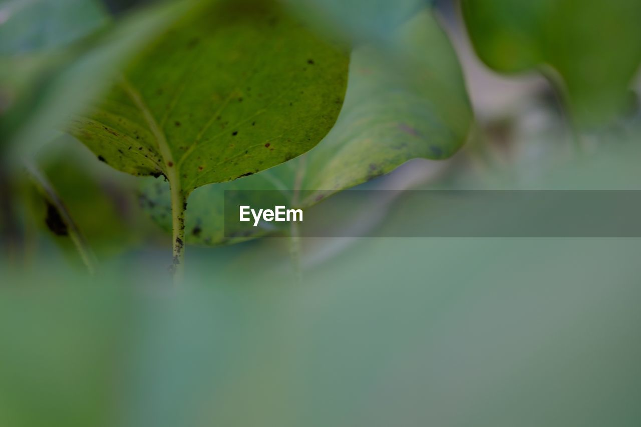 leaf, green color, nature, plant, growth, close-up, no people, beauty in nature, outdoors, day, fragility, freshness