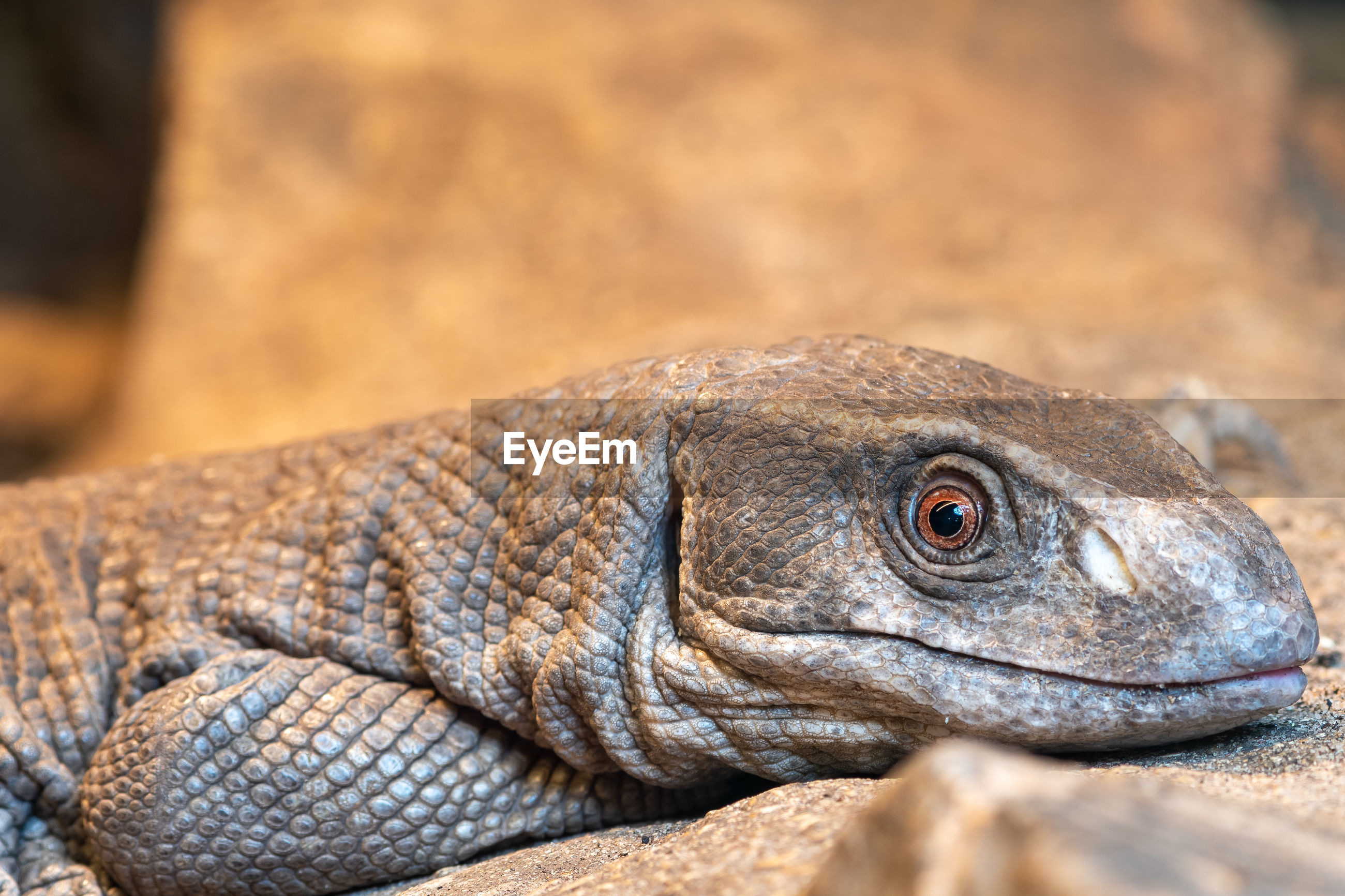 Close up portrait of a savannah monitor in captivity