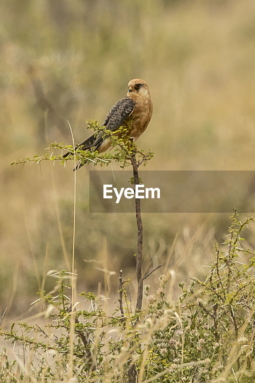 bird, one animal, animal wildlife, animals in the wild, animal, animal themes, vertebrate, plant, perching, day, nature, focus on foreground, no people, land, selective focus, field, outdoors, growth, full length, sunlight