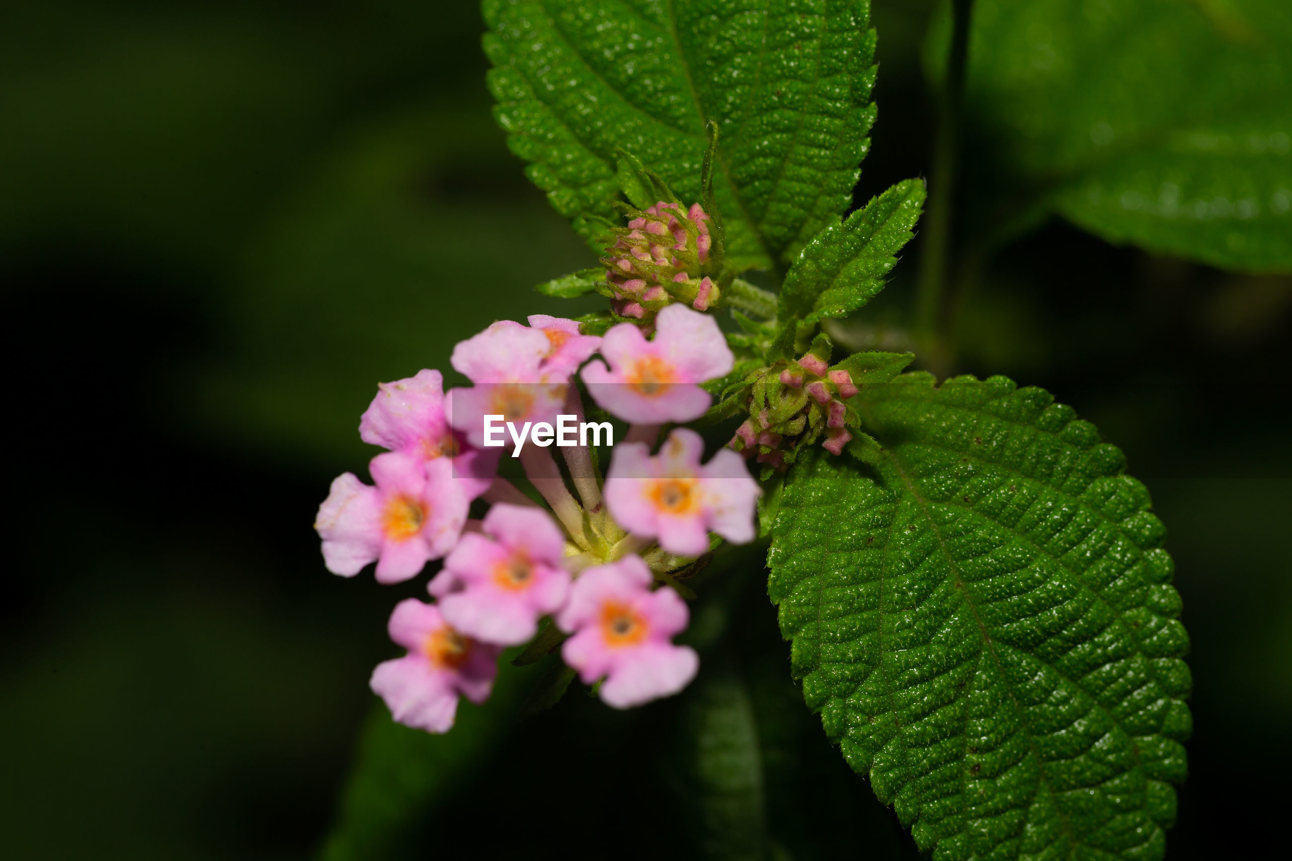 plant, flower, flowering plant, nature, plant part, leaf, macro photography, freshness, beauty in nature, close-up, green, lantana camara, blossom, fragility, pink, growth, no people, outdoors, wildflower, petal, flower head, shrub, botany, day, springtime, focus on foreground, inflorescence, animal wildlife, tree