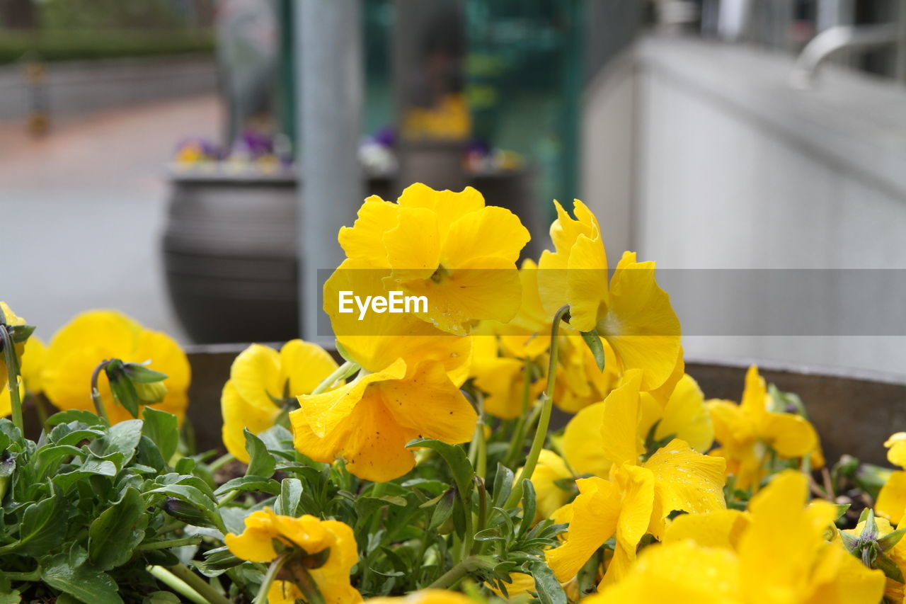 yellow, flowering plant, flower, freshness, plant, beauty in nature, vulnerability, petal, fragility, growth, inflorescence, flower head, close-up, selective focus, day, nature, focus on foreground, no people, outdoors, botany, springtime, flower arrangement, bouquet