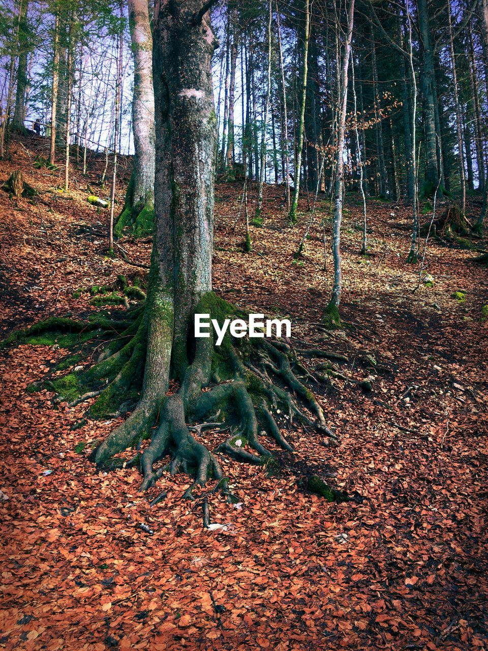 tree, tree trunk, trunk, land, plant, forest, woodland, nature, growth, tranquility, day, beauty in nature, no people, scenics - nature, plant part, landscape, environment, tranquil scene, non-urban scene, outdoors, bark, leaves