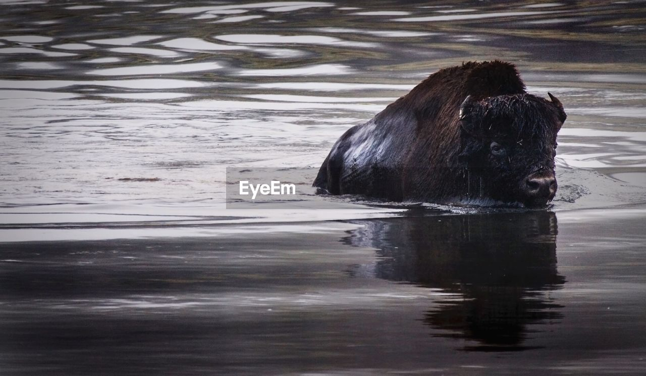 American Bison In Yellowstone River