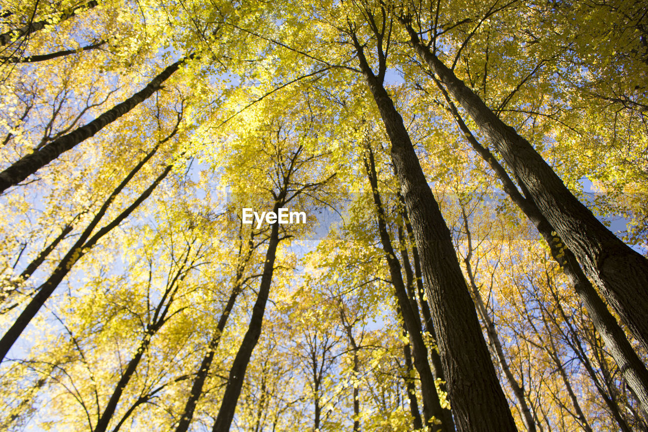 tree, low angle view, plant, autumn, beauty in nature, forest, change, nature, growth, tree trunk, land, trunk, day, plant part, branch, tree canopy, yellow, leaf, tranquility, no people, woodland, outdoors, directly below, natural condition