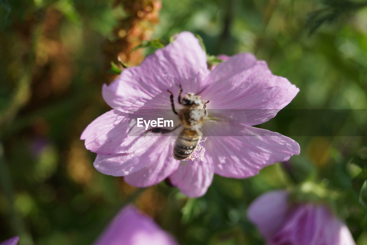 one animal, insect, flower, petal, animal themes, nature, bee, growth, purple, animals in the wild, fragility, focus on foreground, no people, beauty in nature, freshness, day, pollination, outdoors, animal wildlife, plant, close-up, flower head