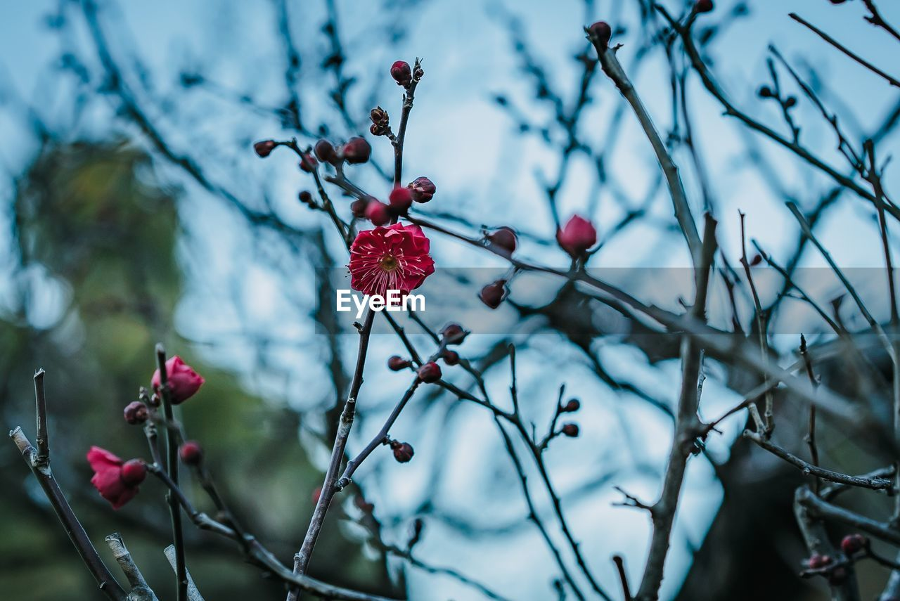 fruit, healthy eating, plant, berry fruit, food, food and drink, growth, tree, freshness, red, focus on foreground, branch, close-up, beauty in nature, no people, nature, day, selective focus, wellbeing, twig, outdoors, rowanberry, red currant