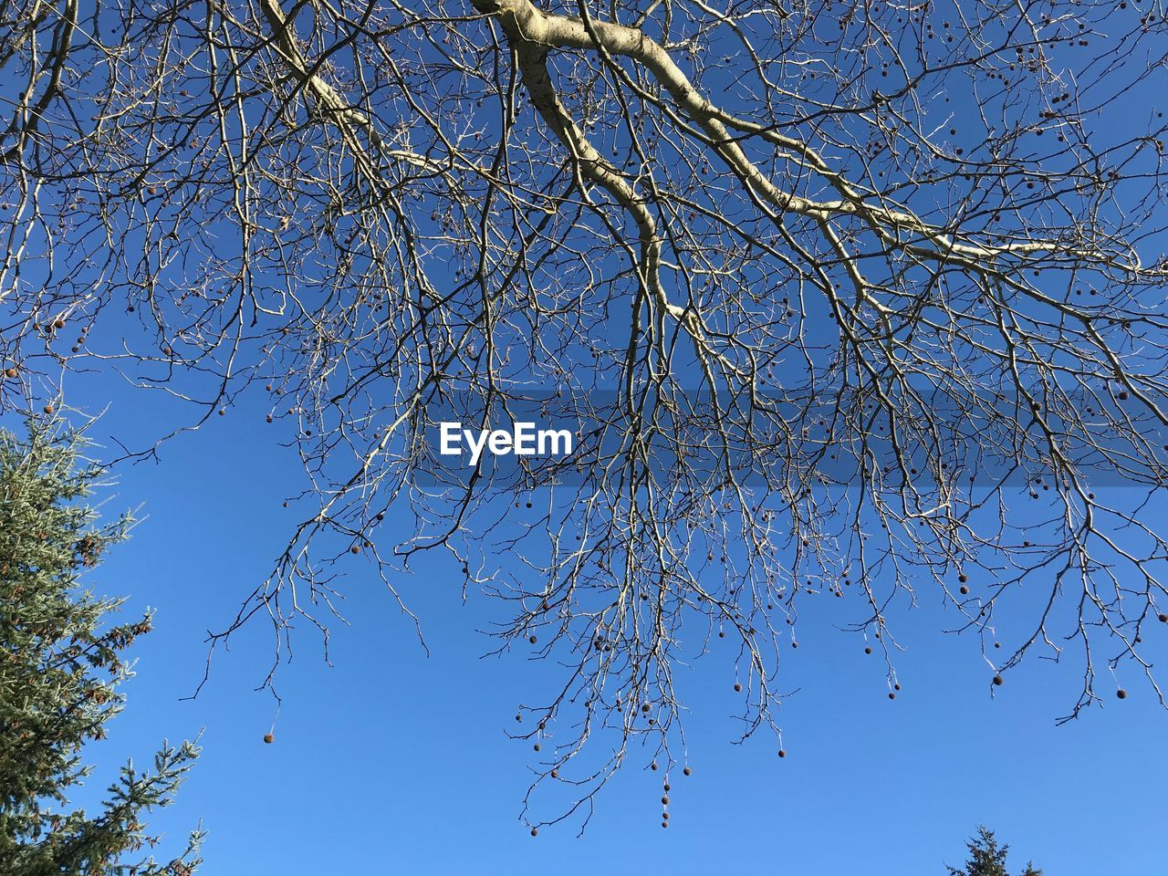 tree, sky, low angle view, branch, plant, blue, clear sky, beauty in nature, no people, nature, day, tranquility, bare tree, outdoors, growth, sunlight, autumn, scenics - nature, tranquil scene, flowering plant, directly below, tree canopy