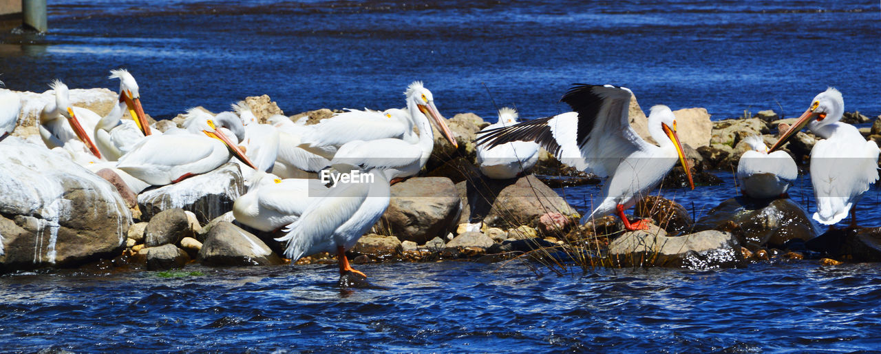 animal themes, water, bird, animals in the wild, vertebrate, animal wildlife, animal, group of animals, large group of animals, lake, waterfront, day, nature, white color, no people, beauty in nature, swan, flock of birds, outdoors, seagull