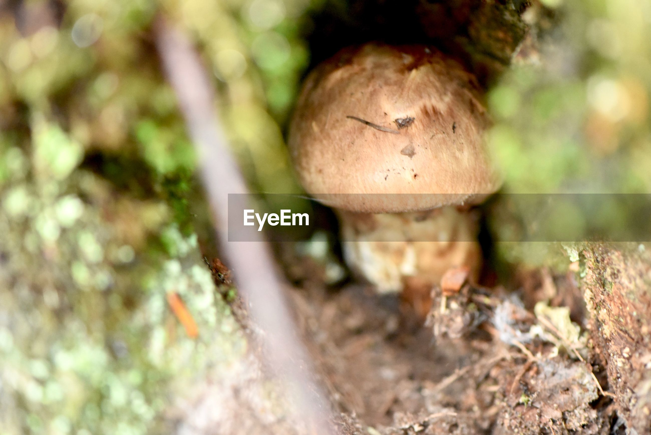 mushroom, fungus, food, vegetable, selective focus, close-up, growth, no people, plant, land, nature, day, tree, field, moss, toadstool, food and drink, outdoors, beauty in nature, edible mushroom