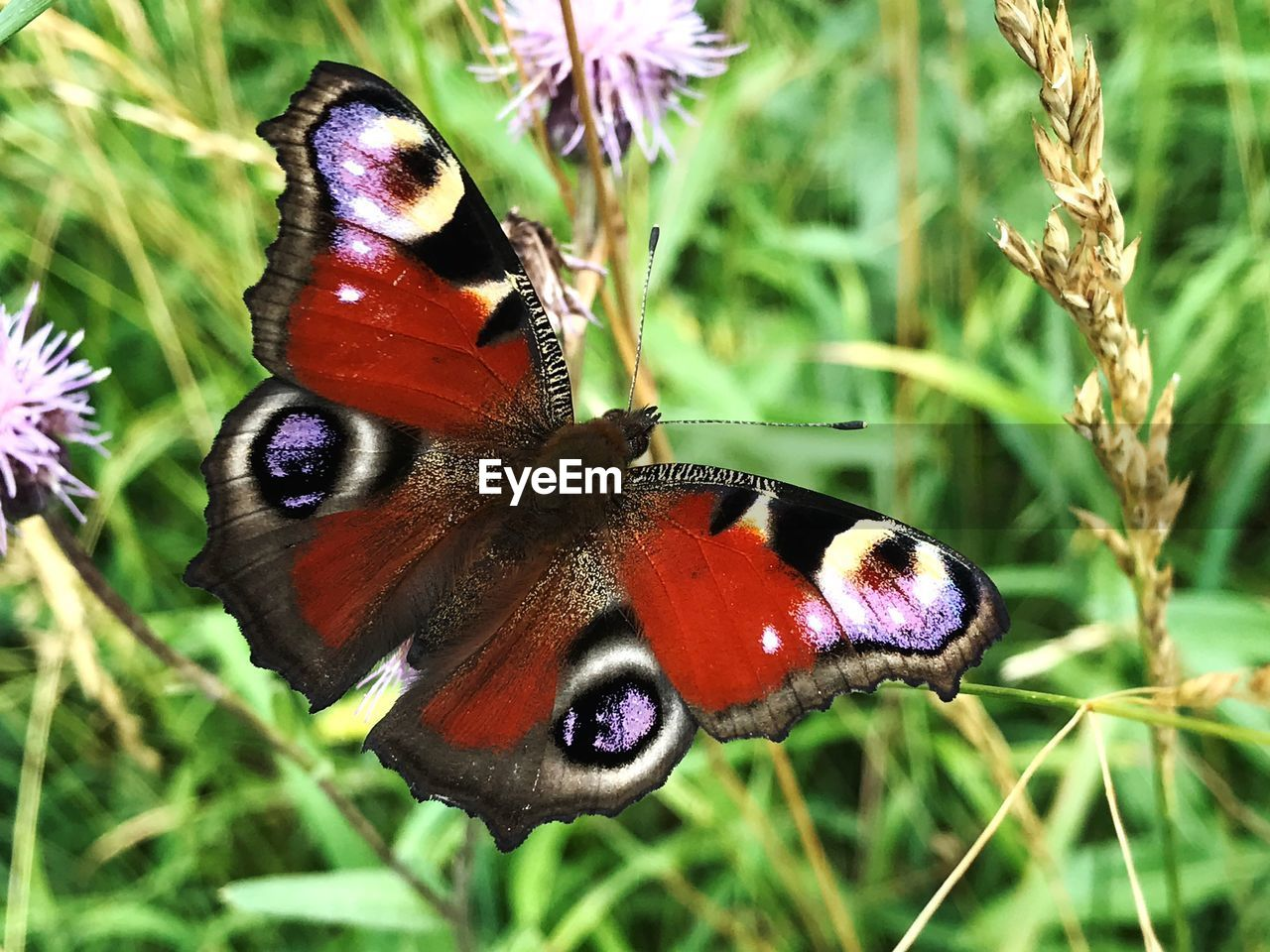 animal themes, insect, animal wildlife, animal, invertebrate, animals in the wild, one animal, animal wing, butterfly - insect, plant, beauty in nature, close-up, flower, flowering plant, focus on foreground, nature, no people, day, animal markings, butterfly, pollination, flower head, outdoors, purple