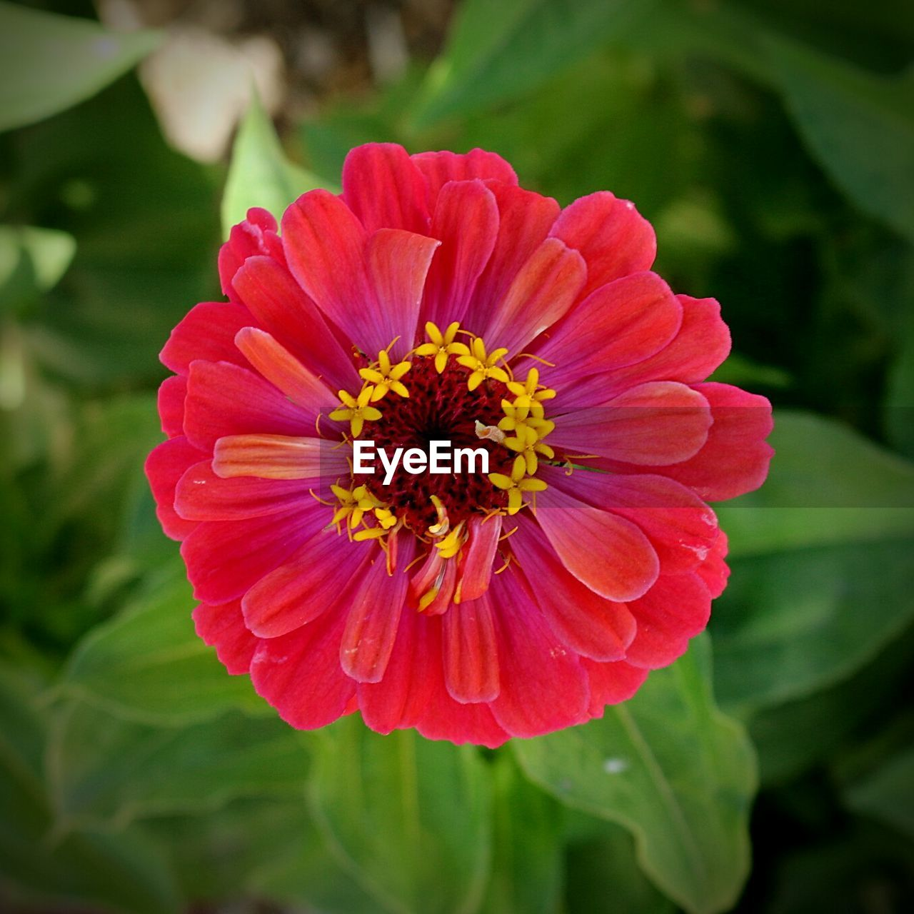Close-up of red zinnia blooming on plant at field
