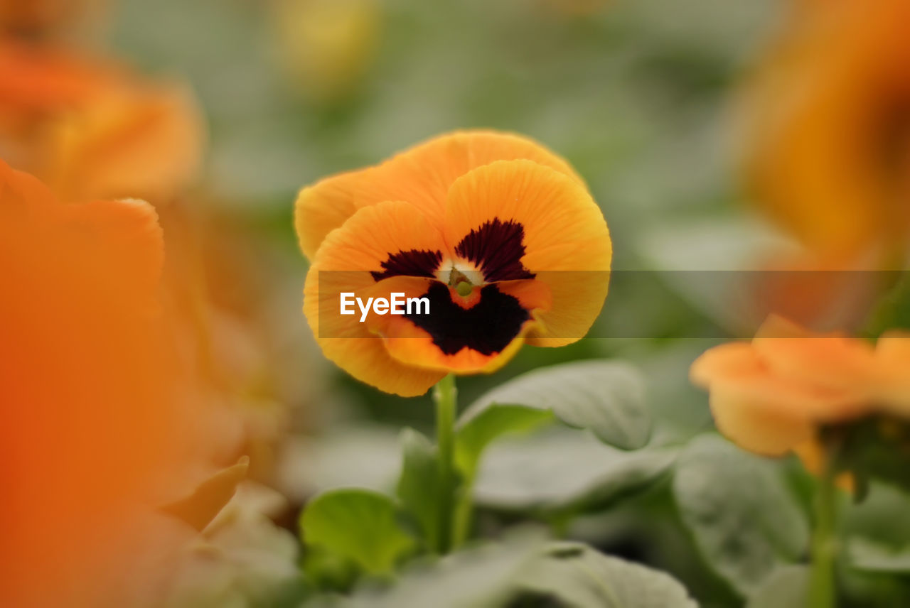 flowering plant, flower, beauty in nature, fragility, petal, vulnerability, freshness, plant, flower head, close-up, inflorescence, selective focus, growth, no people, orange color, nature, yellow, pansy, pollen, day