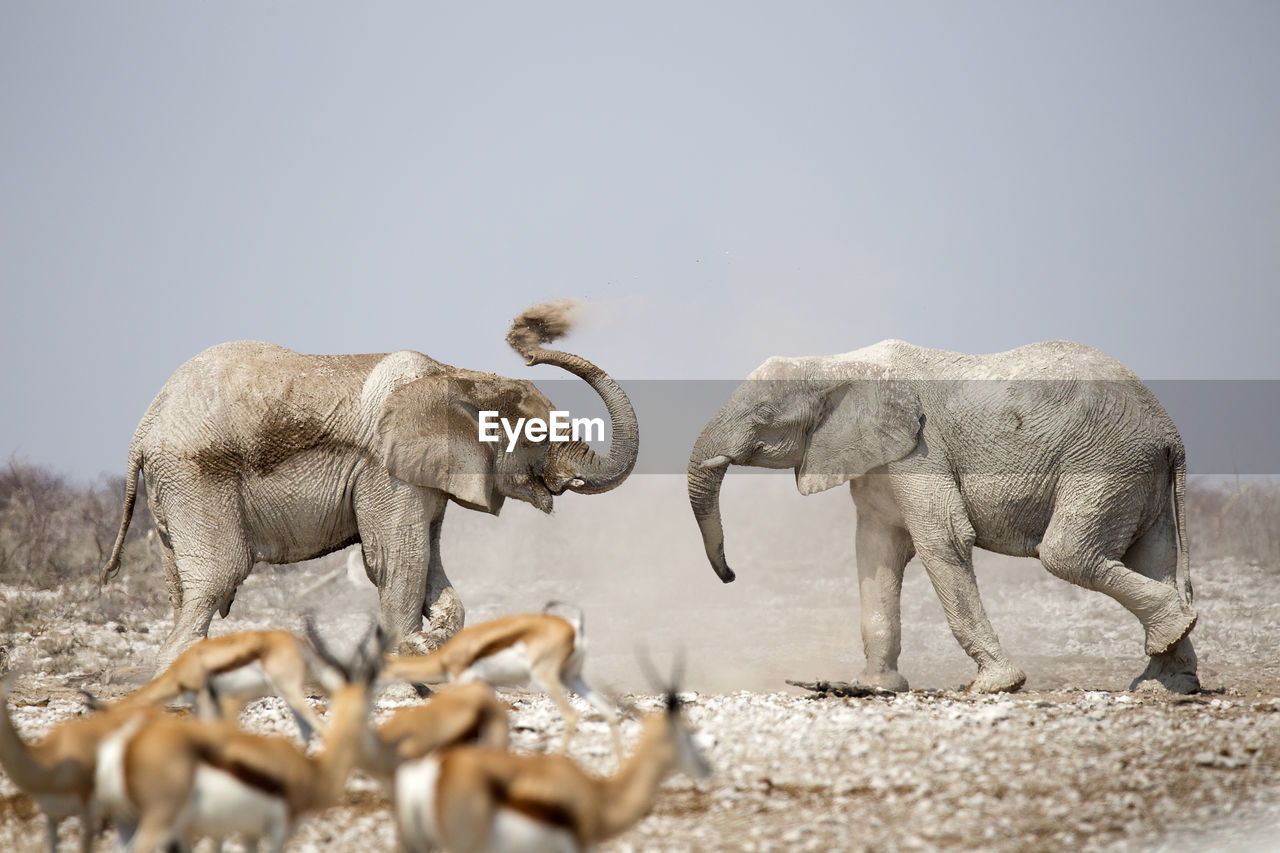 Side View Of Elephants