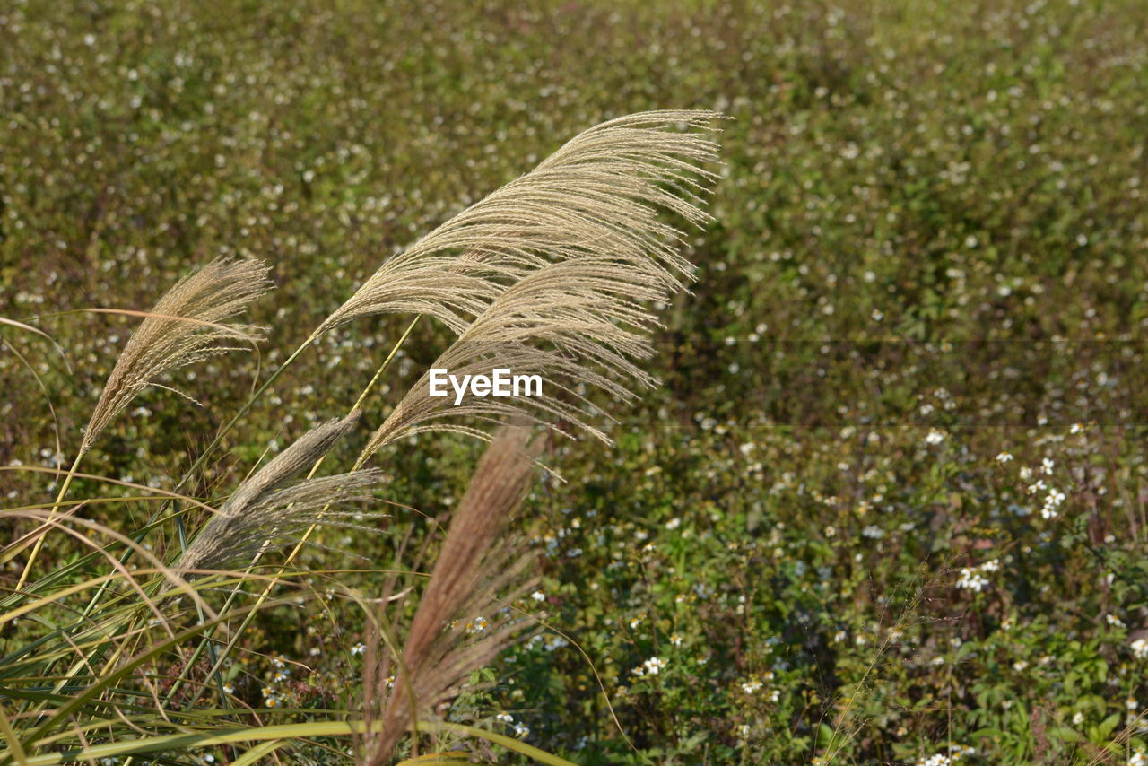 growth, plant, nature, field, agriculture, no people, outdoors, day, rural scene, cereal plant, beauty in nature, grass, close-up, fragility