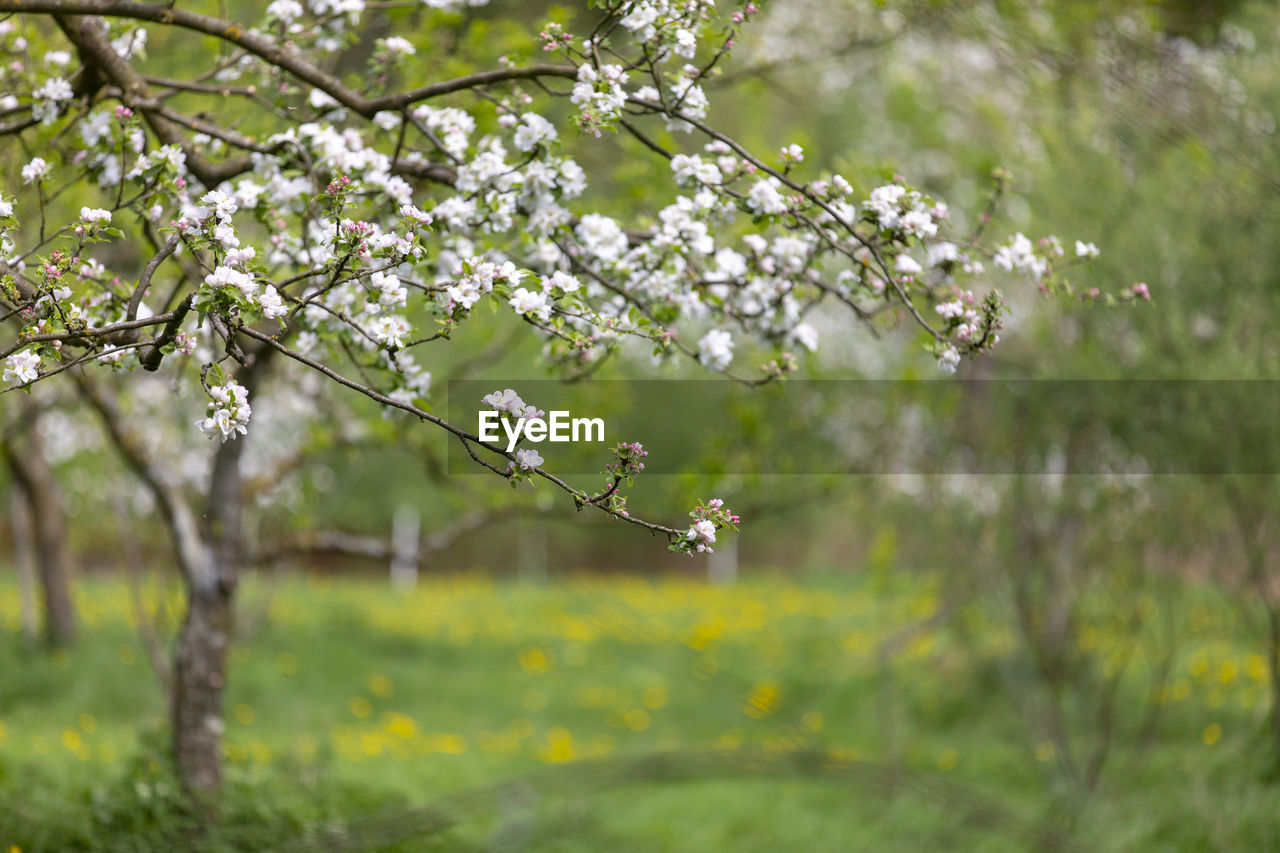 flower, flowering plant, plant, beauty in nature, growth, fragility, tree, freshness, vulnerability, branch, blossom, springtime, nature, day, focus on foreground, no people, outdoors, white color, close-up, selective focus, cherry blossom, flower head, cherry tree