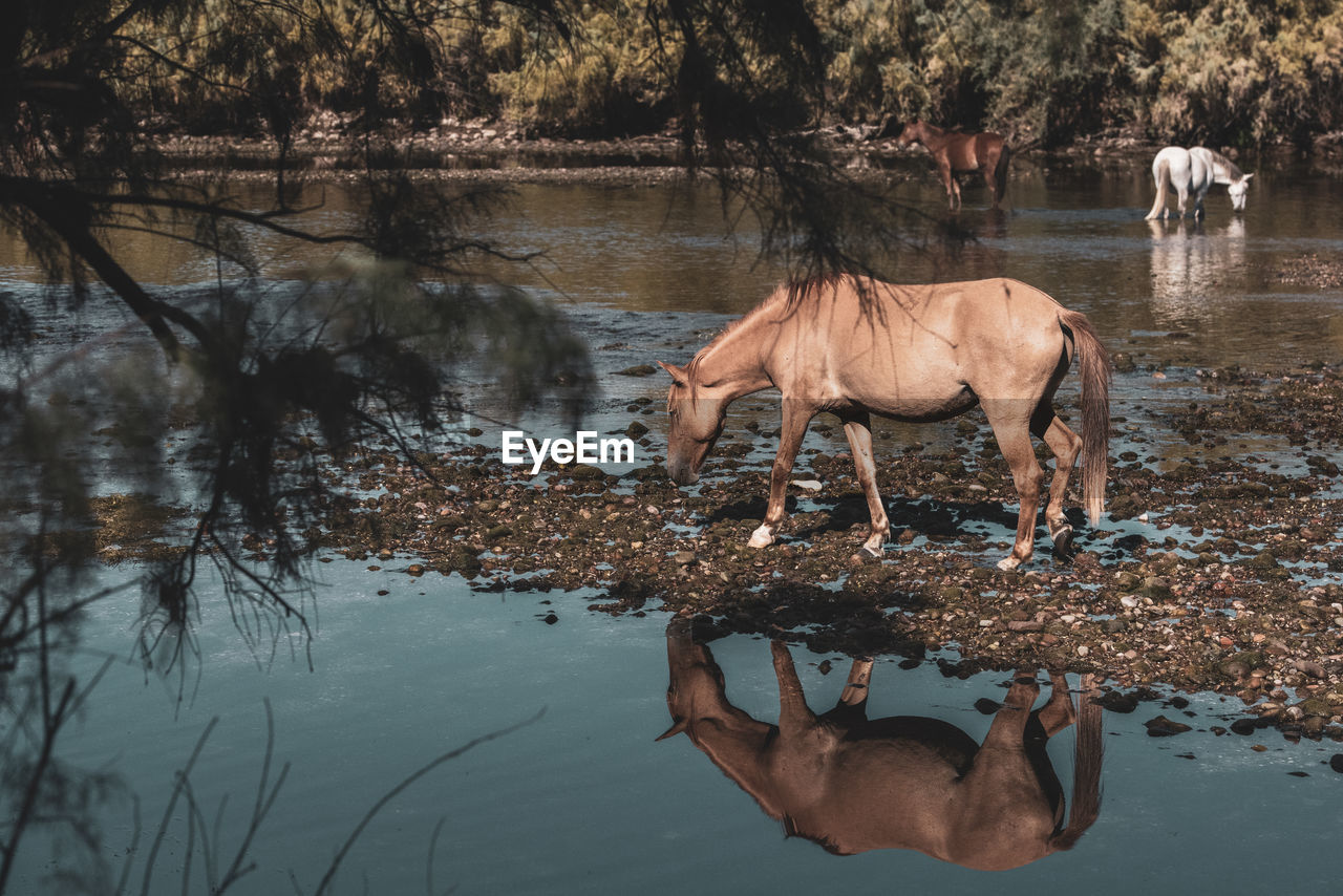 An afternoon on the salt river for these wild horses...