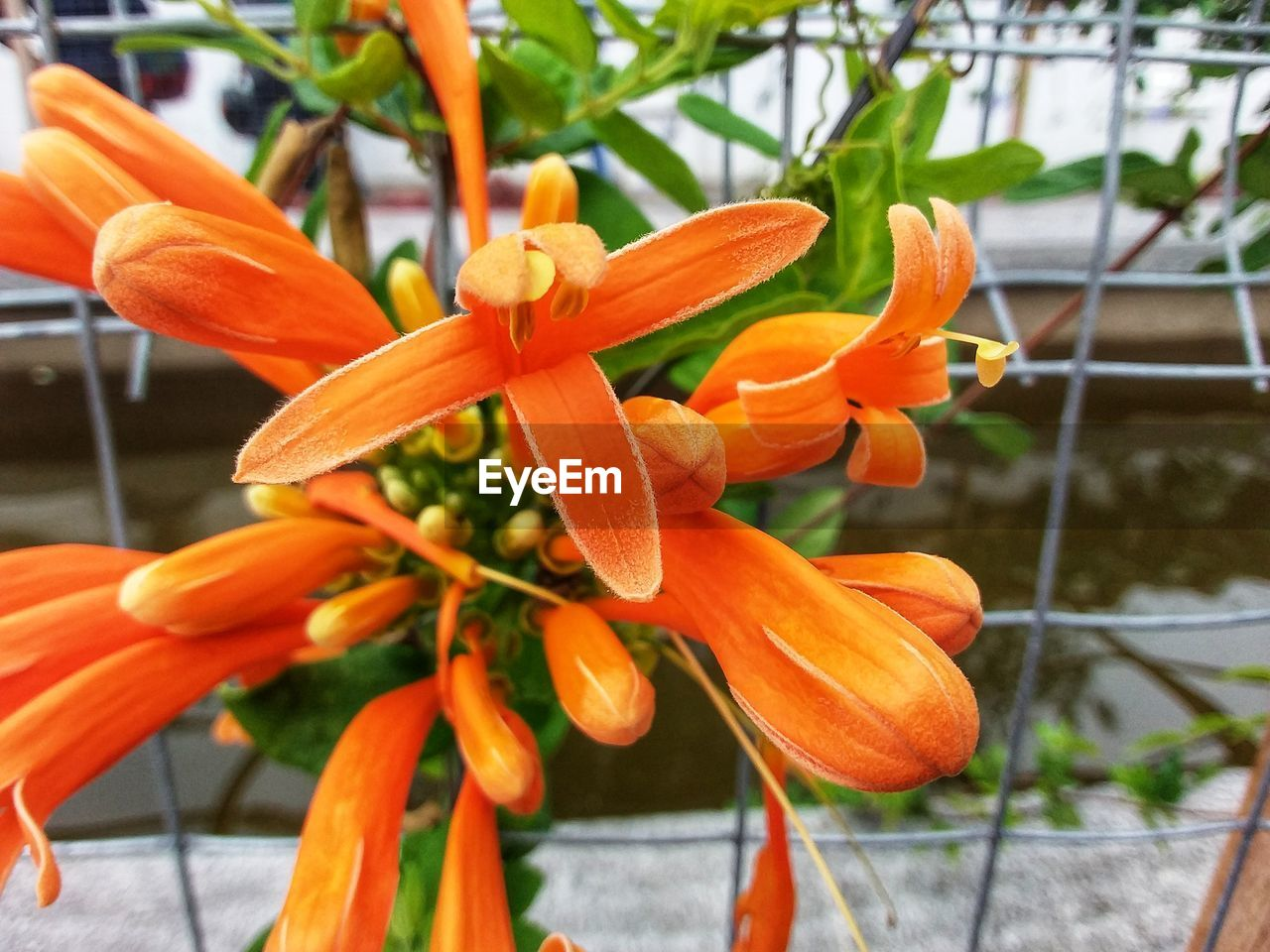 plant, flowering plant, flower, freshness, orange color, growth, vulnerability, fragility, beauty in nature, petal, close-up, flower head, focus on foreground, inflorescence, no people, day, botany, lily, nature, pollen, outdoors, orange