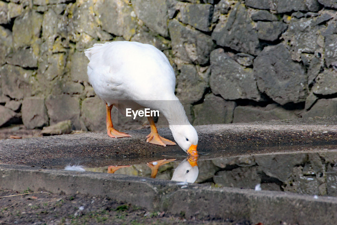 animal, animal themes, bird, vertebrate, animals in the wild, animal wildlife, one animal, day, no people, nature, white color, wall, solid, seagull, outdoors, full length, food, eating, beak, land