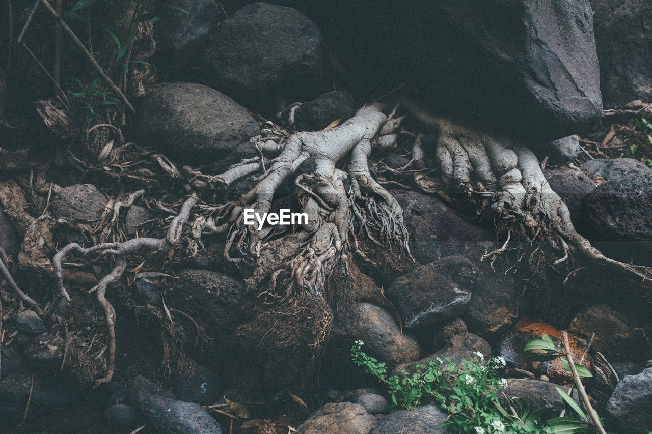 Close-up of tree roots on rocks