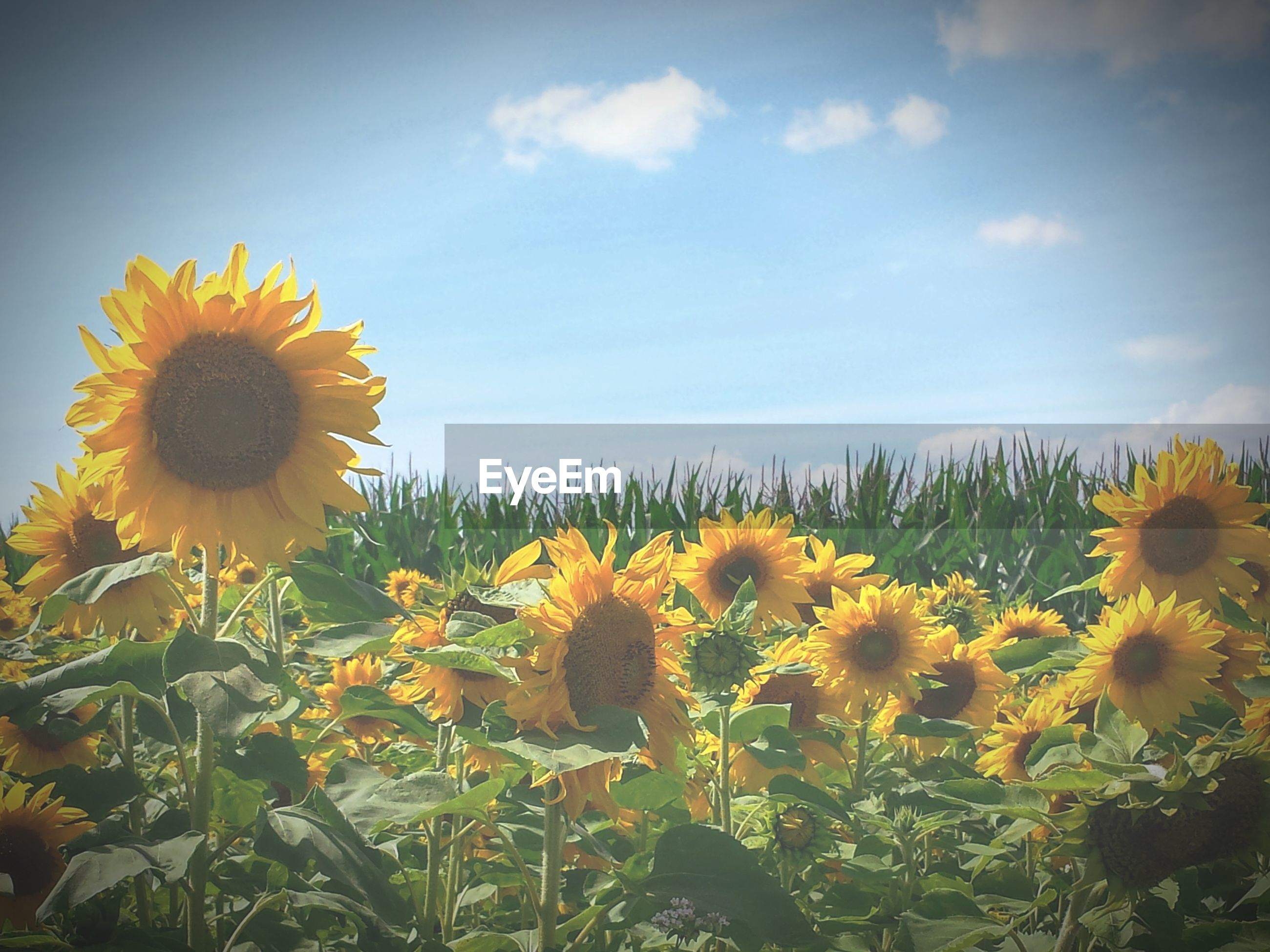 flower, growth, nature, yellow, plant, beauty in nature, petal, freshness, fragility, field, flower head, sunflower, blooming, day, no people, blossom, sky, outdoors, cloud - sky, springtime, leaf, close-up, rural scene, black-eyed susan, crocus