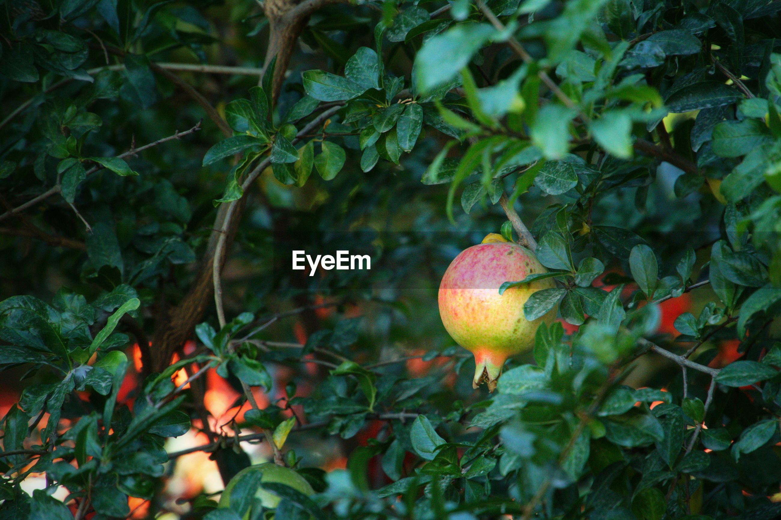 Close-up of pomegranate fruit on tree