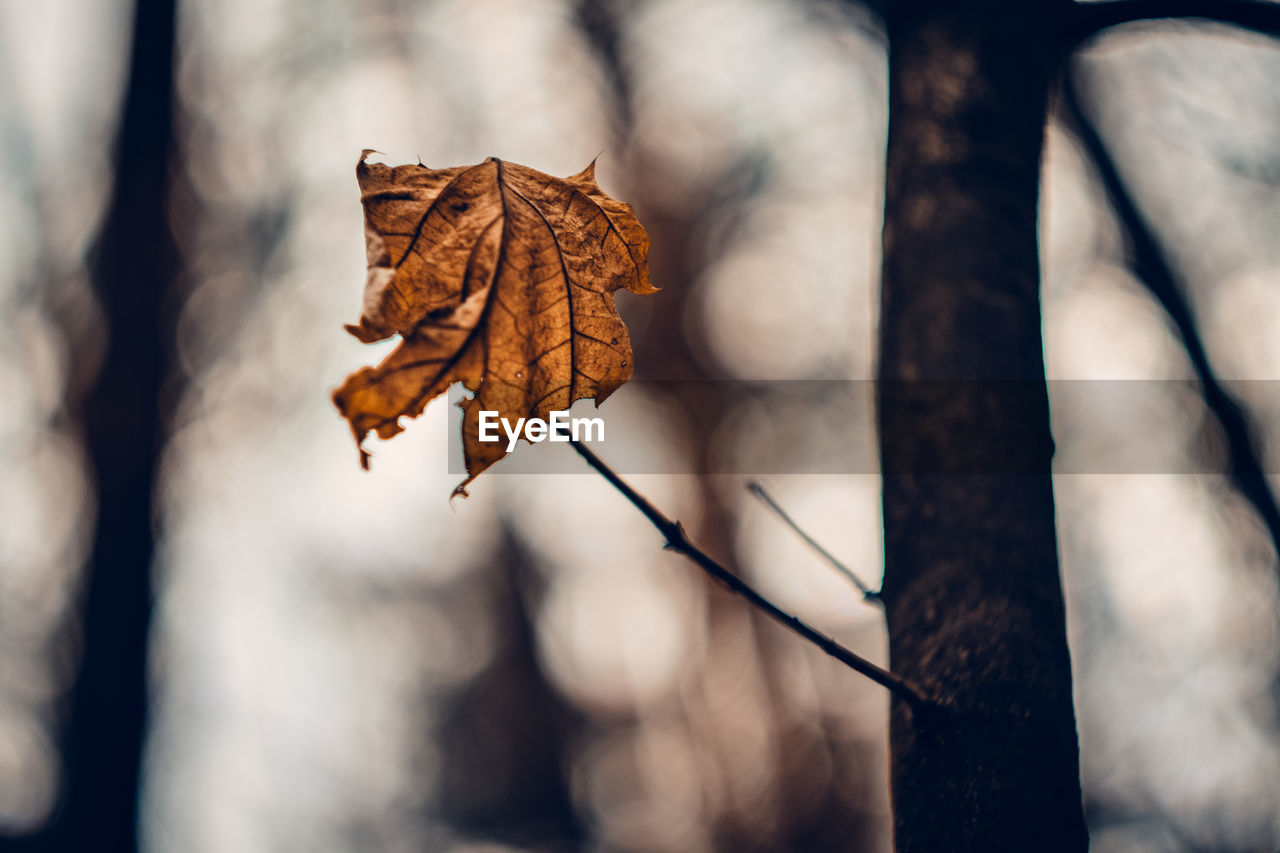 leaf, plant part, autumn, close-up, dry, focus on foreground, nature, change, day, plant, tree, no people, vulnerability, brown, fragility, outdoors, selective focus, beauty in nature, leaf vein, leaves, maple leaf, dried, natural condition