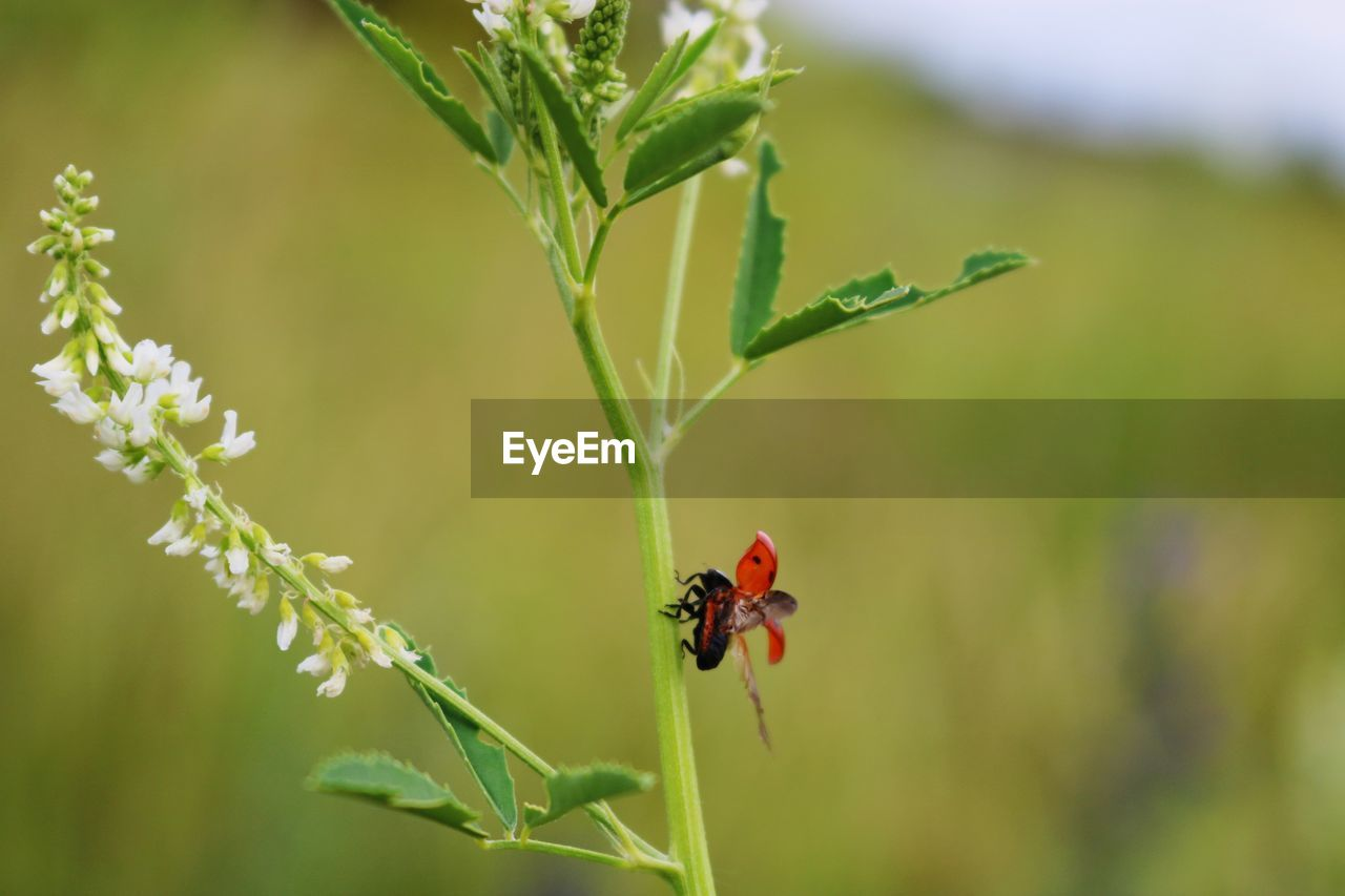 animals in the wild, animal wildlife, invertebrate, one animal, insect, plant, animal themes, animal, ladybug, beetle, nature, growth, beauty in nature, close-up, focus on foreground, day, plant part, leaf, no people, red, small