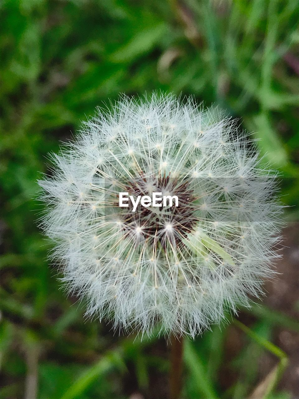 flower, flowering plant, dandelion, plant, vulnerability, fragility, freshness, beauty in nature, close-up, focus on foreground, growth, nature, no people, inflorescence, flower head, white color, day, tranquility, outdoors, softness, dandelion seed