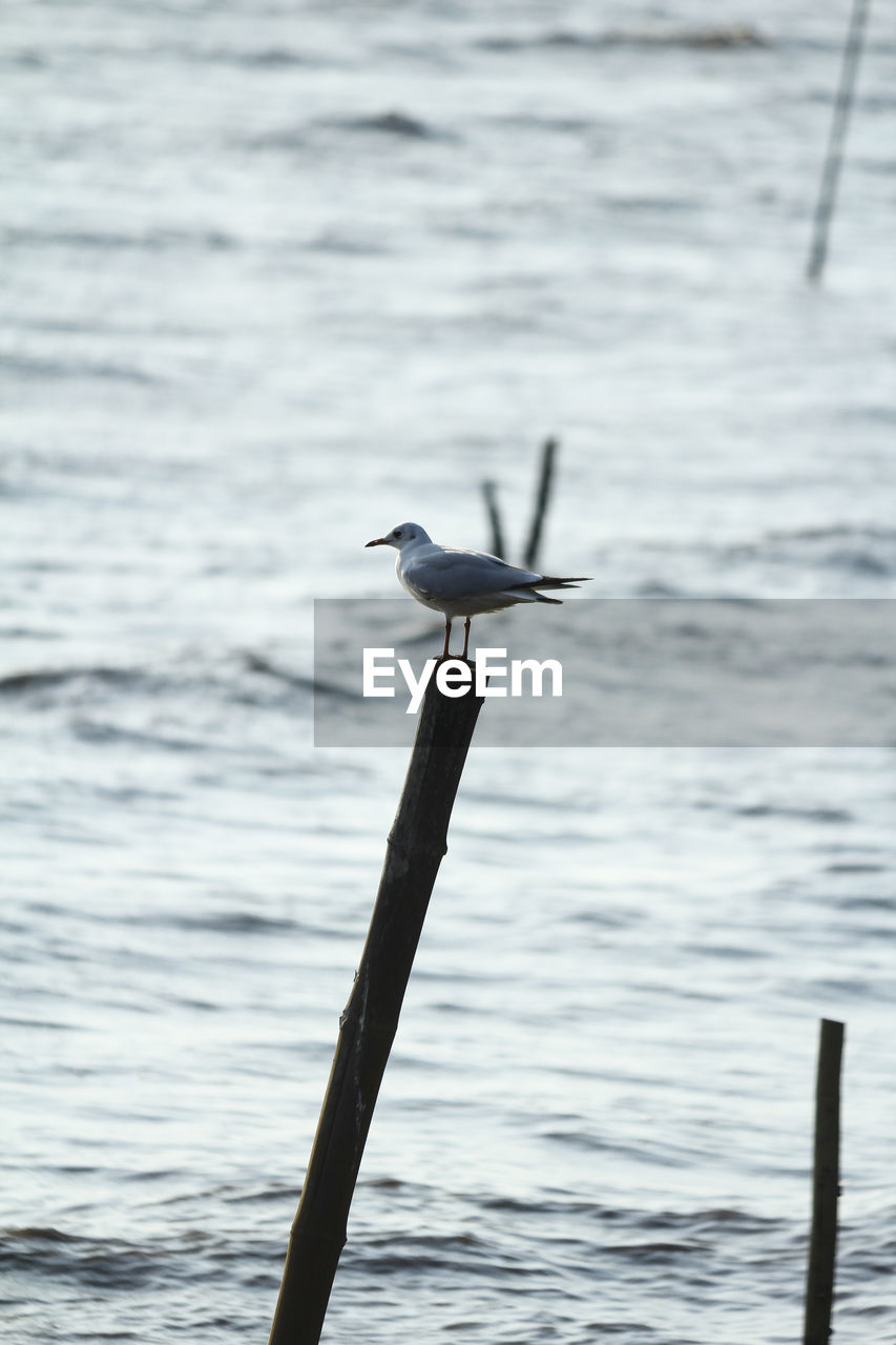 bird, animals in the wild, water, animal themes, animal wildlife, one animal, nature, sea, perching, day, no people, outdoors, wooden post, beauty in nature, seagull, spread wings