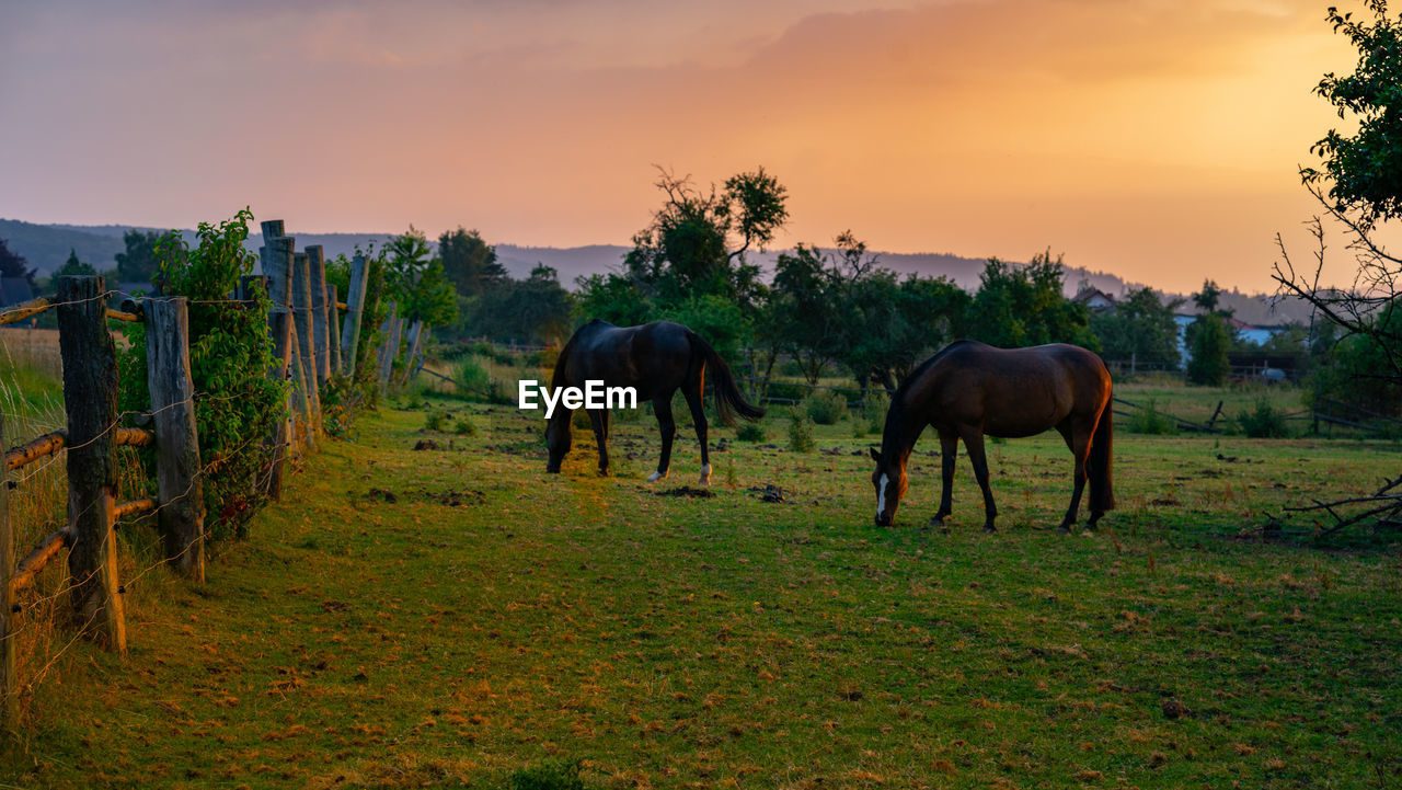 mammal, animal, animal themes, sky, domestic animals, livestock, field, domestic, land, plant, animal wildlife, horse, group of animals, pets, vertebrate, sunset, environment, grass, nature, herbivorous, no people, outdoors