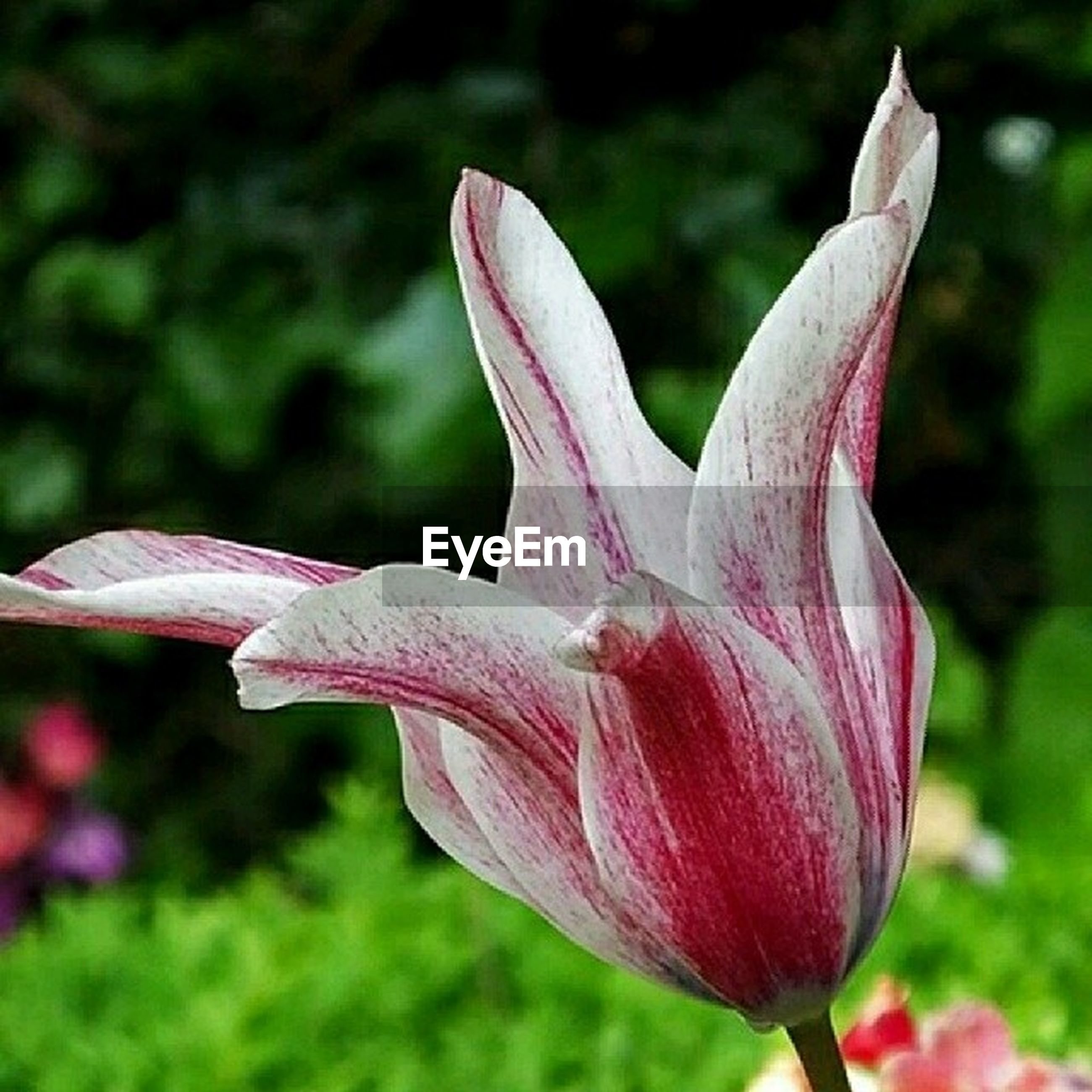flower, petal, freshness, fragility, pink color, growth, flower head, beauty in nature, close-up, focus on foreground, nature, blooming, plant, stem, in bloom, pink, blossom, tulip, outdoors, park - man made space