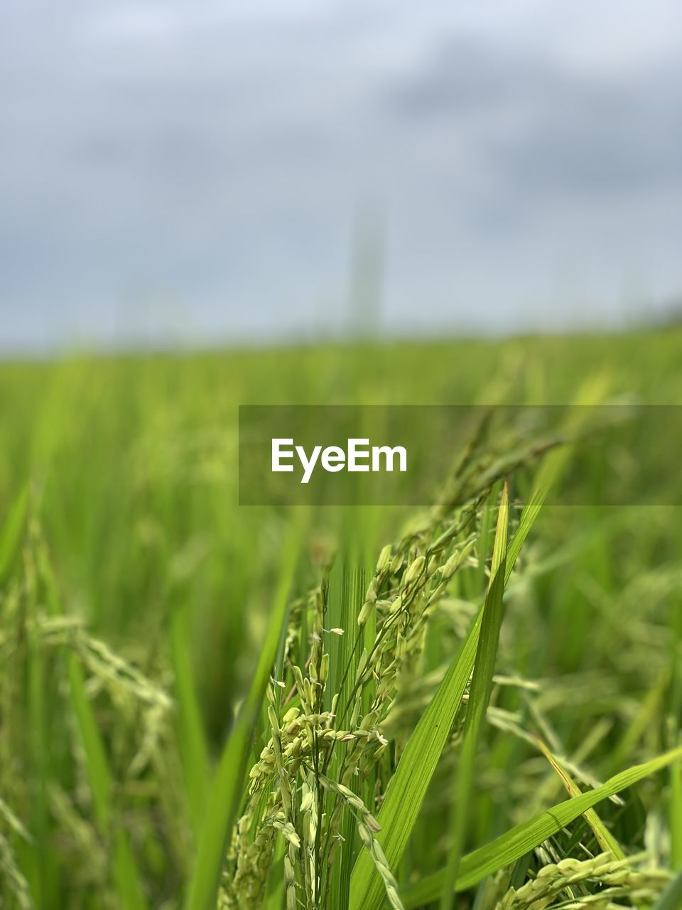 green color, growth, plant, landscape, land, agriculture, field, rural scene, crop, nature, no people, environment, day, beauty in nature, farm, tranquility, cereal plant, selective focus, sky, grass, outdoors, blade of grass, plantation