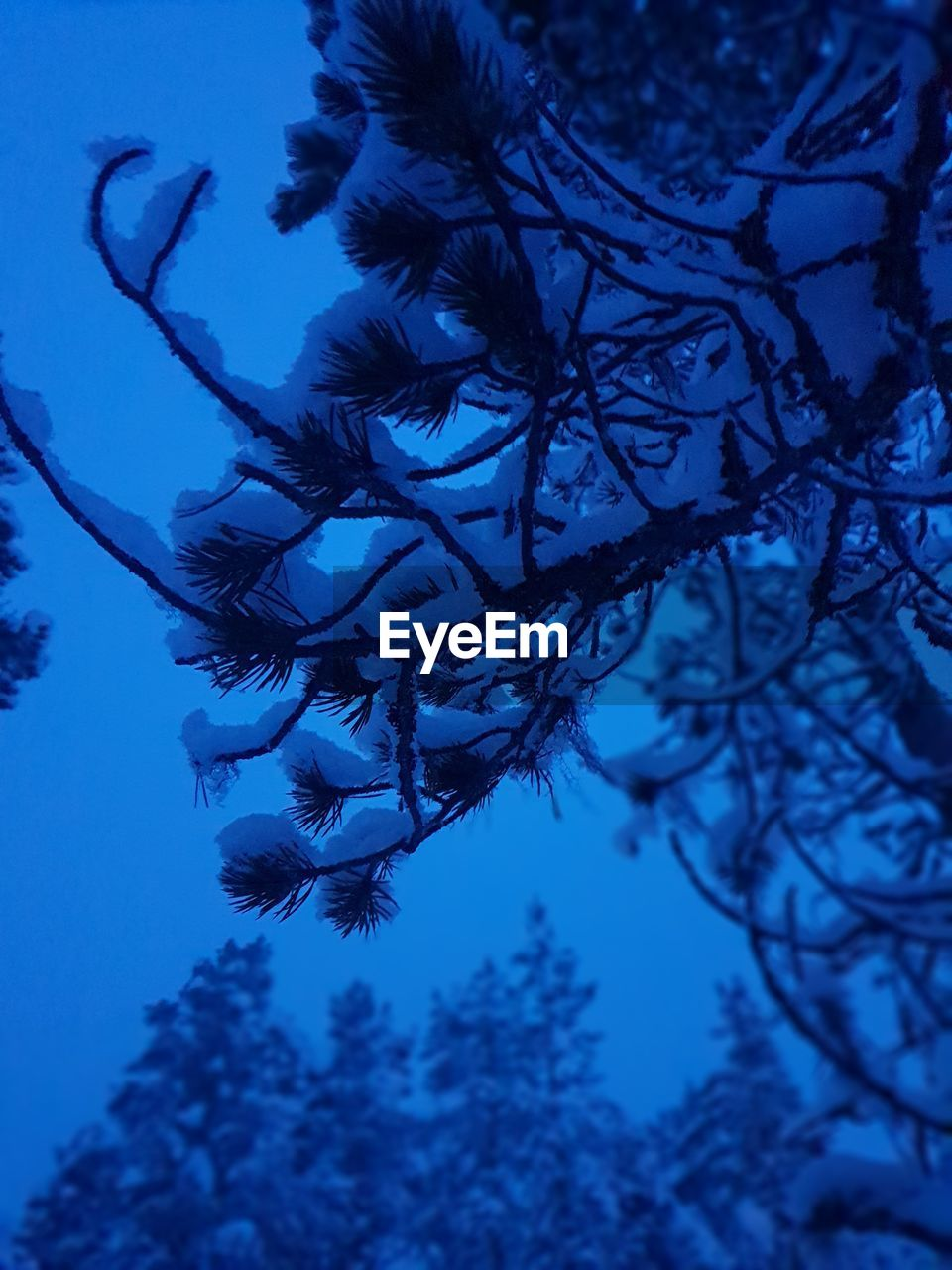 plant, tree, growth, nature, no people, beauty in nature, branch, sky, low angle view, tranquility, focus on foreground, blue, day, close-up, silhouette, scenics - nature, outdoors, selective focus, winter, dusk, coniferous tree