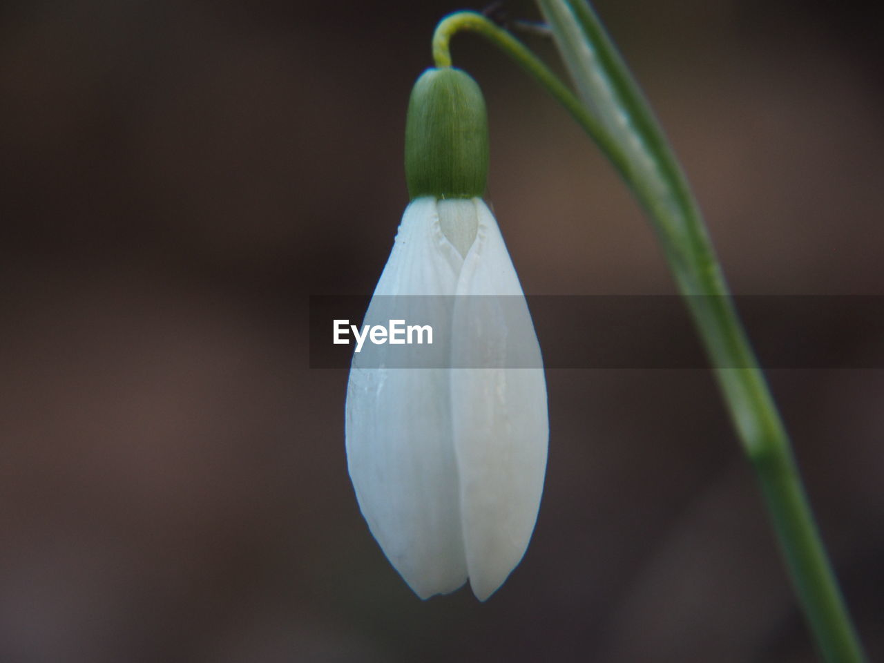 freshness, flower, flowering plant, beauty in nature, fragility, plant, close-up, vulnerability, growth, petal, focus on foreground, white color, no people, nature, flower head, inflorescence, snowdrop, plant stem, bud, outdoors