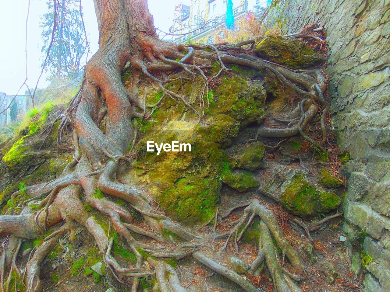 tree, tree trunk, nature, root, day, no people, forest, moss, outdoors, growth, tranquility, branch, beauty in nature, dead tree, close-up