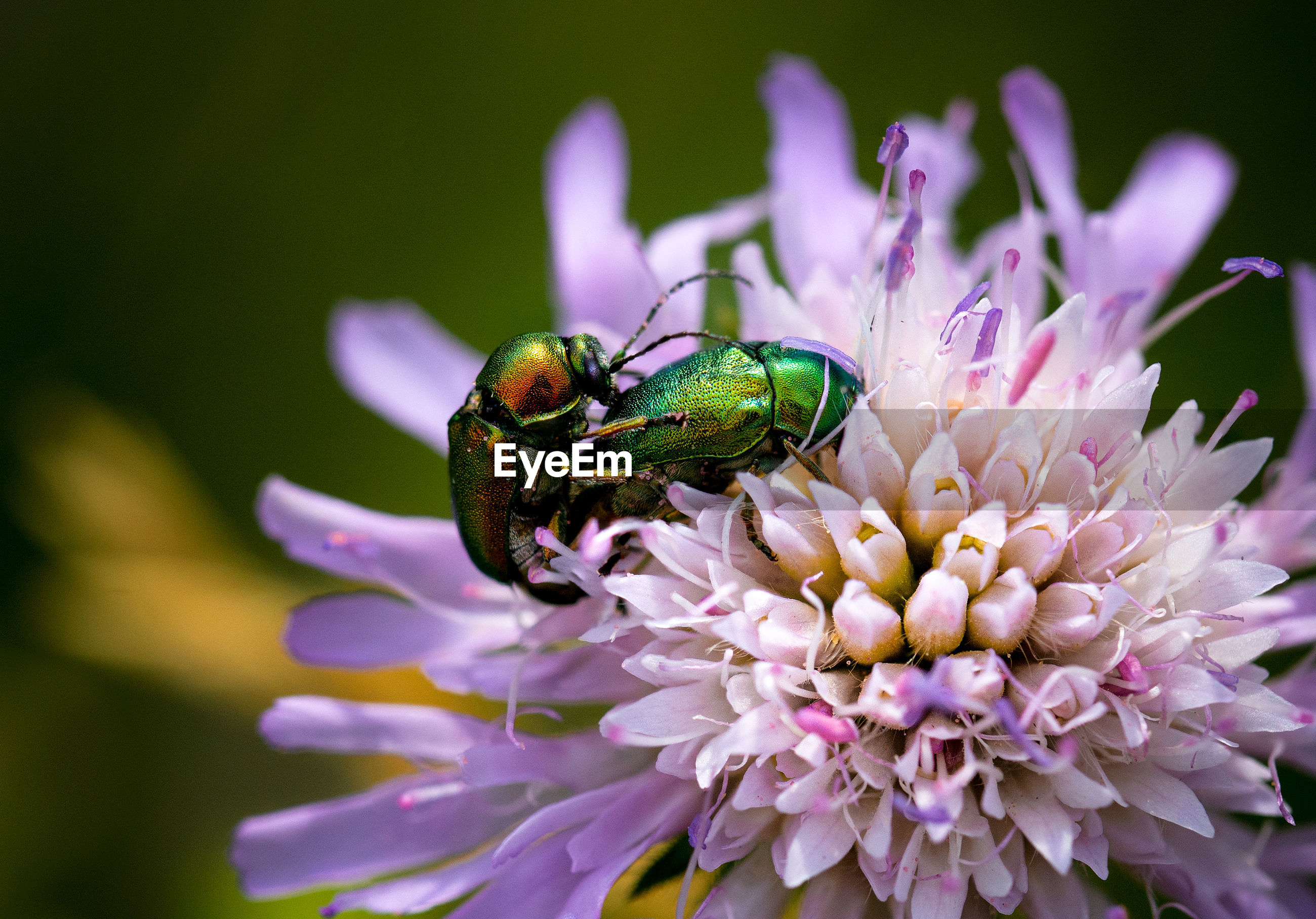 flower, flowering plant, petal, vulnerability, plant, fragility, beauty in nature, animal, animal themes, freshness, insect, invertebrate, flower head, close-up, growth, one animal, animal wildlife, animals in the wild, inflorescence, pink color, pollination, no people, purple, pollen