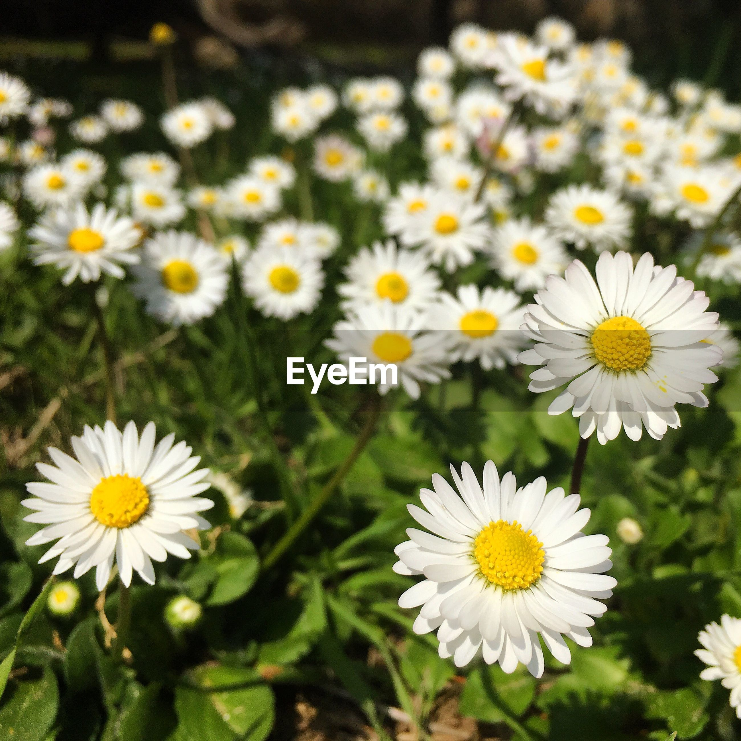 CLOSE-UP OF DAISY FLOWERS BLOOMING OUTDOORS