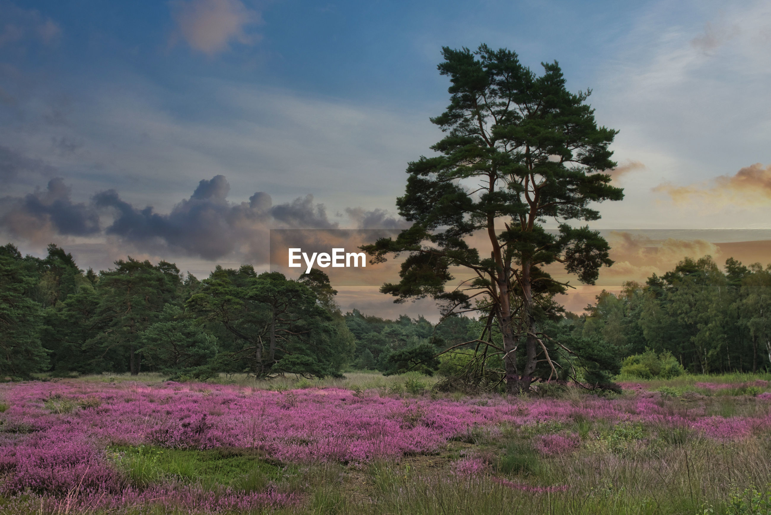 SCENIC VIEW OF PURPLE FLOWERING PLANTS ON LAND AGAINST SKY