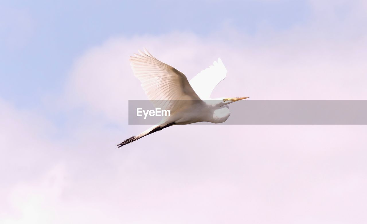 animals in the wild, animal wildlife, bird, flying, animal themes, vertebrate, animal, spread wings, one animal, mid-air, sky, low angle view, nature, no people, beauty in nature, motion, day, egret, outdoors, cloud - sky, seagull