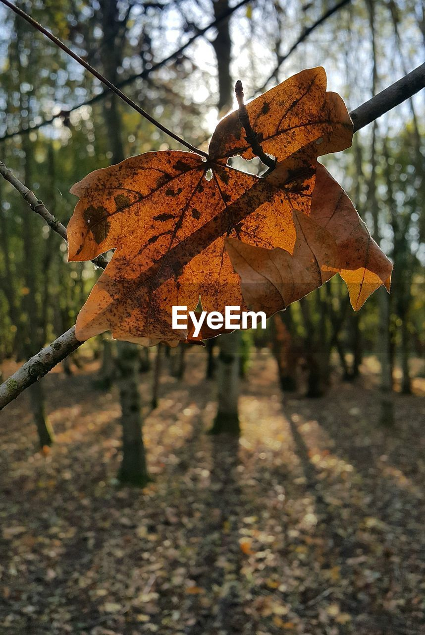 leaf, plant part, autumn, tree, change, focus on foreground, plant, close-up, nature, day, dry, no people, outdoors, branch, leaf vein, orange color, beauty in nature, leaves, vulnerability, selective focus, maple leaf, natural condition, autumn collection, fall