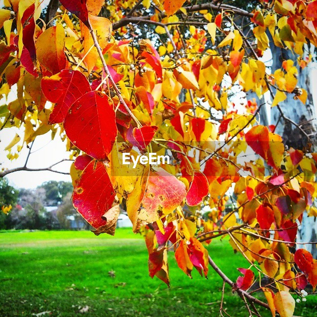 autumn, leaf, change, nature, day, outdoors, beauty in nature, tree, growth, focus on foreground, no people, maple leaf, scenics, close-up, tranquility, branch, maple, grass, fragility, sky, freshness