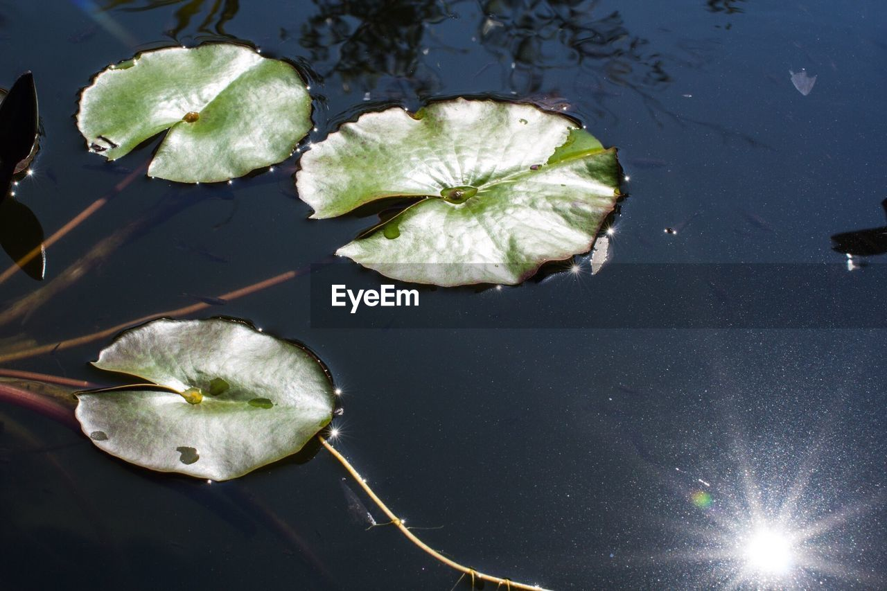 water, beauty in nature, water lily, lily pad, nature, leaf, floating on water, high angle view, no people, freshness, reflection, plant, lake, flower, day, close-up, lotus water lily, outdoors, growth, fragility, flower head