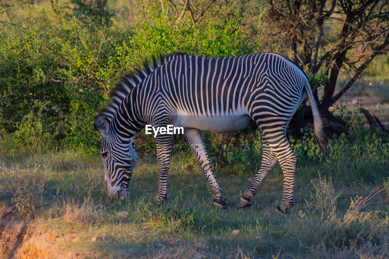 animal themes, animal, animal wildlife, striped, animals in the wild, mammal, zebra, plant, grass, vertebrate, no people, field, one animal, nature, land, standing, animal markings, safari, tree, domestic animals, outdoors, herbivorous