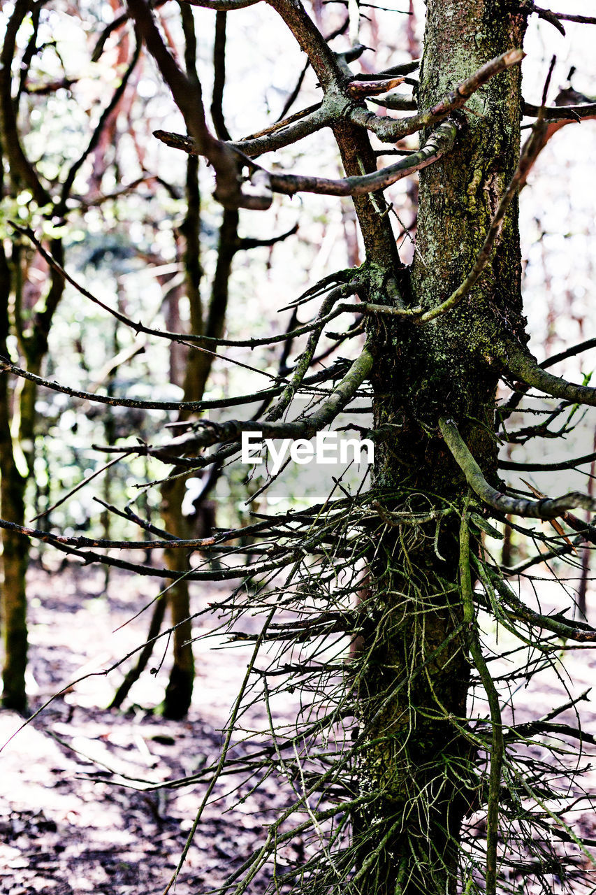 plant, tree, tree trunk, trunk, branch, growth, no people, nature, day, tranquility, focus on foreground, outdoors, beauty in nature, land, bare tree, moss, green color, close-up, winter, forest, coniferous tree, bark