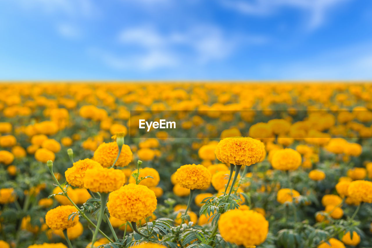 yellow, flower, flowering plant, plant, beauty in nature, field, growth, land, sky, freshness, landscape, vulnerability, fragility, agriculture, nature, rural scene, environment, oilseed rape, no people, selective focus, outdoors, flower head, springtime, flowerbed