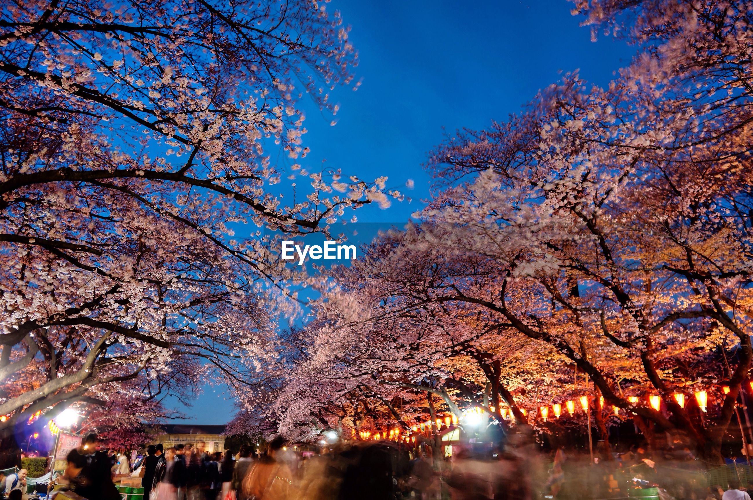 Low angle view of people passing by cherry blossom trees