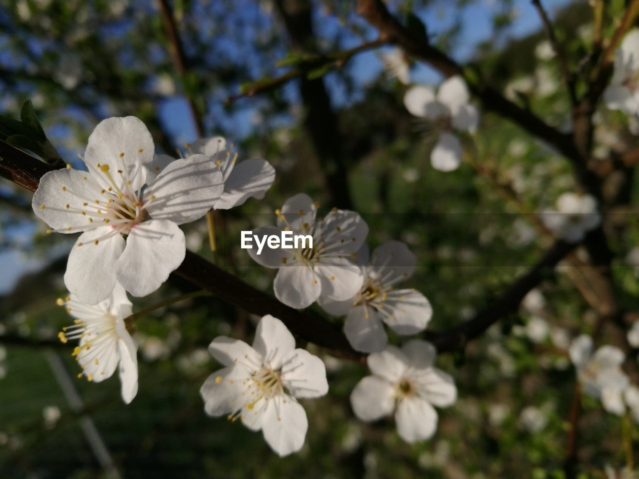 flowering plant, plant, flower, fragility, growth, freshness, vulnerability, beauty in nature, white color, petal, tree, blossom, flower head, inflorescence, close-up, nature, springtime, branch, pollen, no people, outdoors, cherry blossom, cherry tree, spring
