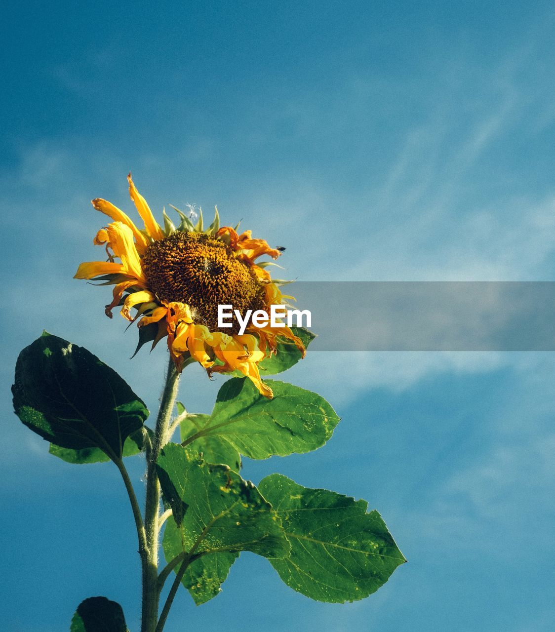 Low angle view of sunflower blooming outdoors