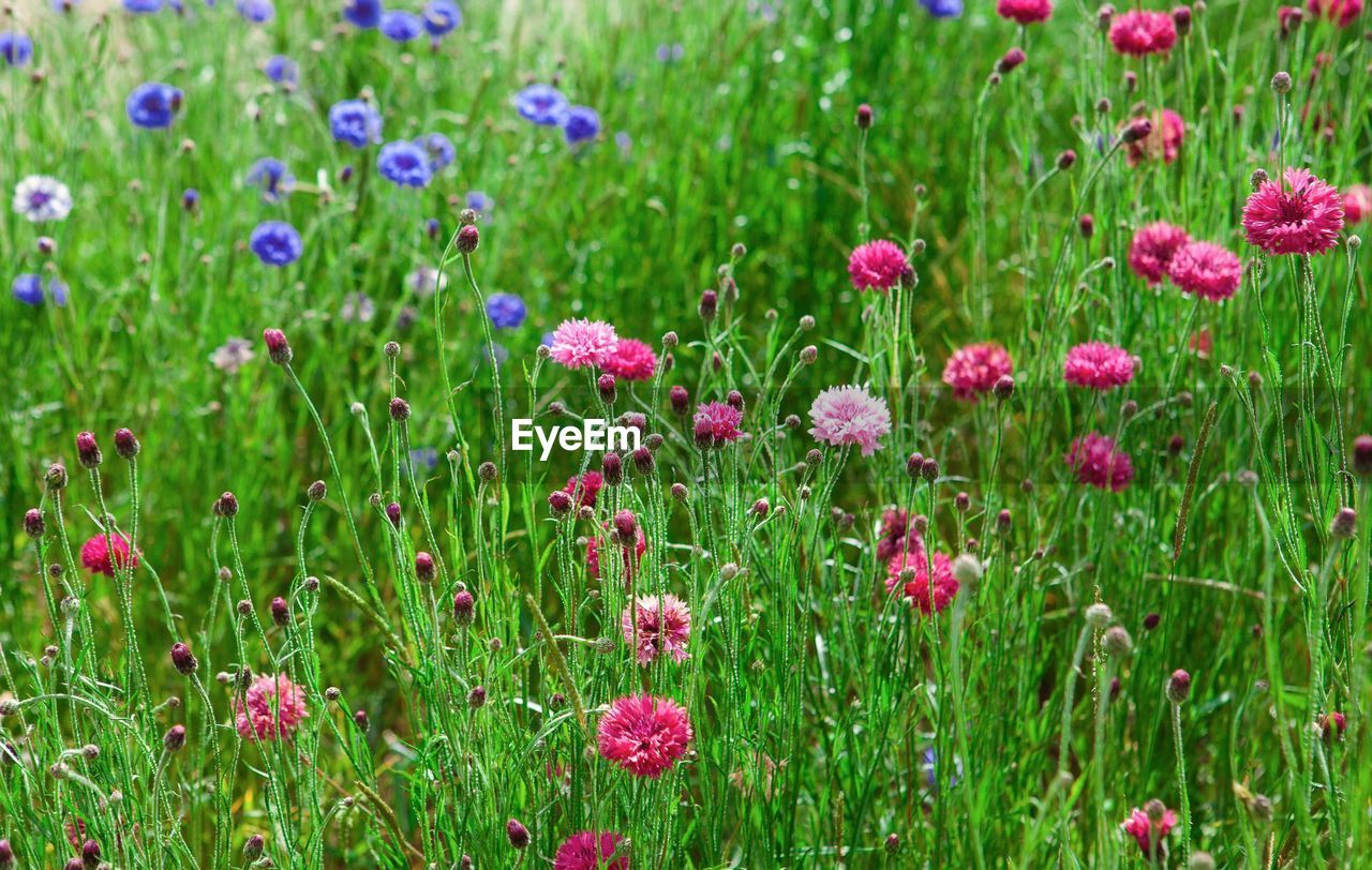 flower, plant, flowering plant, beauty in nature, freshness, growth, green color, fragility, nature, vulnerability, field, land, pink color, day, no people, summer, flower head, close-up, outdoors, grass, flowerbed, springtime, purple