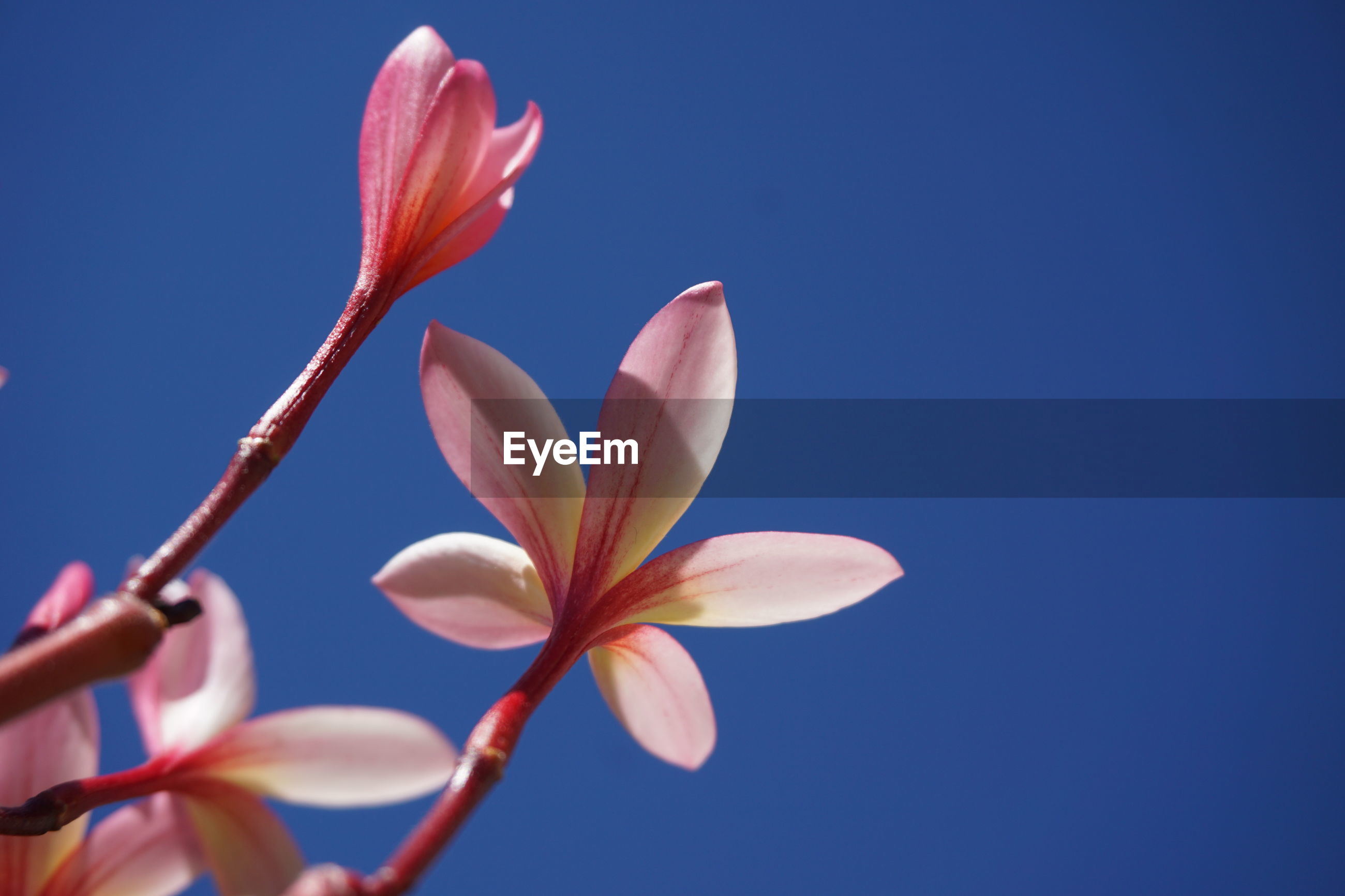 CLOSE-UP OF PINK BLUE FLOWER AGAINST CLEAR SKY
